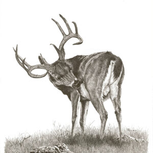 stag-looking-back-16-5-x-20-5-min-min